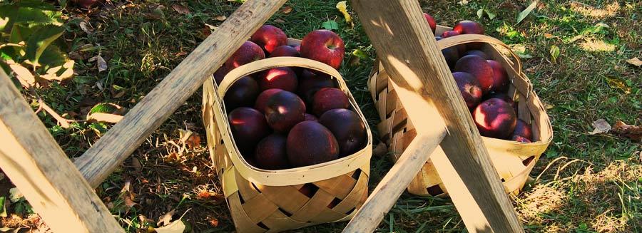 quoi faire à montréal pour l'action de grâce - cueillette pommes